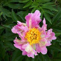 3291_9447_Paeonia_Pink_Spritzer-2-D.JPG