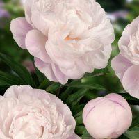 3294_10785_Paeonia_Gardenia-1-G_pojeng.jpg