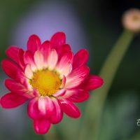 3316_10050_Argyranthemum_frutescens_Aramis_Apricot_hobekakar_2.jpg