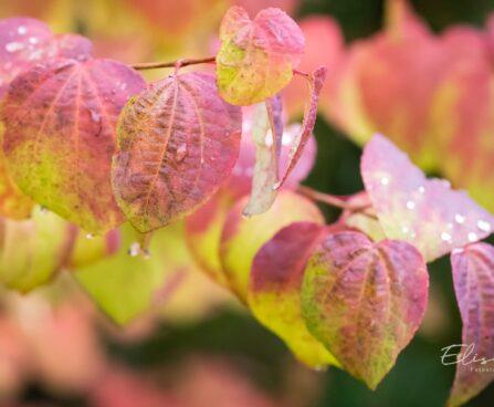 3410_9638_Cercidiphyllum_japonicum_jaapani_juudapuulehik_4.jpg