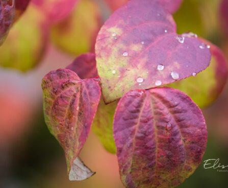 3410_9639_Cercidiphyllum_japonicum_jaapani_juudapuulehik_6.jpg