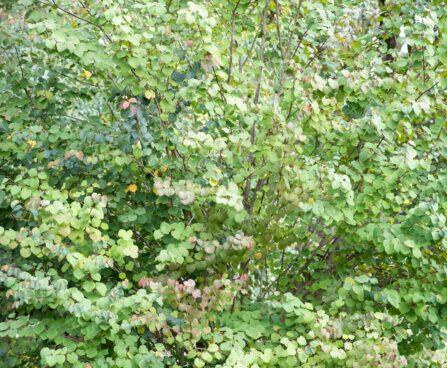 3410_9640_Cercidiphyllum_japonicum_jaapani_juudapuulehik.jpg