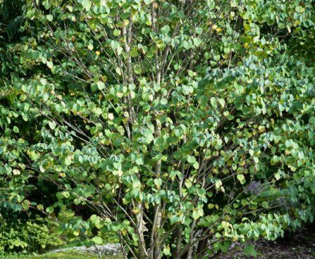 3410_9641_Cercidiphyllum_japonicum_jaapani_juudapuulehik_3.jpg