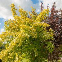 84_7791_Physocarpus_opulifolius_Luteus.JPG