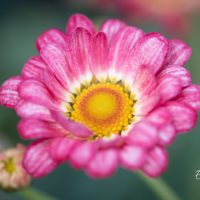 3458_10047_Argyranthemum_frutescens_Aramis_Apricot_hobekakar.jpg