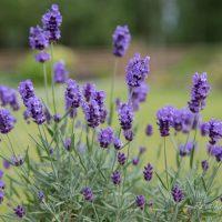 3491_10227_Lavandula_angustifolia_Hidcote_Blue__3.JPG