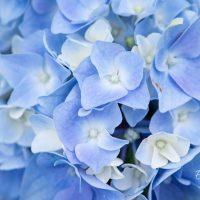 3497_10436_Hydrangea_macrophylla_Early_Blue__suureleheline_hortensia.jpg