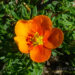 89_7373_Potentilla_fruticosa_Hopleys_Orange.JPG
