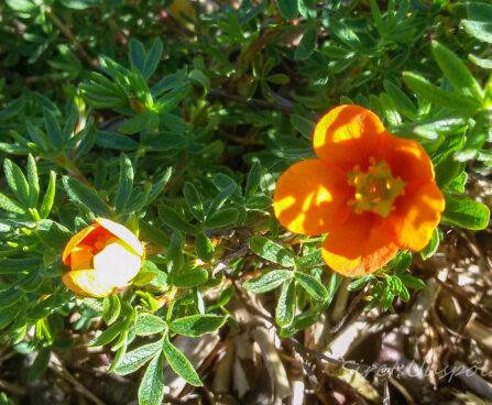 89_7374_Potentilla_fruticosa_Hopleys_Orange.JPG