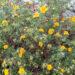 89_7375_Potentilla_fruticosa_Hopleys_Orange.JPG