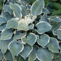 3539_10893_Hosta_Frosted_Dimples.jpg