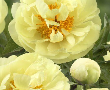 3595_10773_Paeonia_Lemon_Chiffon_-G_pojeng.jpg