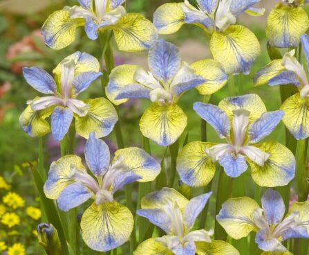 3677_10852_Iris_Sibirica_Tipped_in_Blue_-D_siberi_iiris-.jpg
