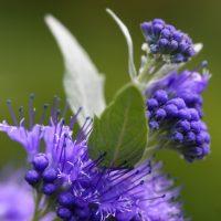 3702_11213_Caryopteris_x_clandonensis_Heavenly_Blue_30.jpg