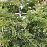 137_7085_Juniperus_chinensis_Kuriwao_Gold.JPG
