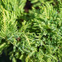 153_9834_Juniperus_media_Goldkissen__keskmine_kadakas_2.jpg