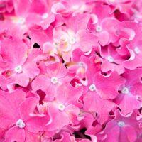 3495_10427_Hydrangea_macrophylla_Curly_Wurly__surrelehine_hortensia._2.jpg