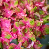3496_10430_Hydrangea_macrophylla_Saxon_Schloss_suureleheline_hortensia_2.jpg