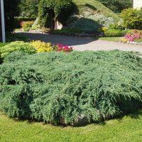 135_2875_Juniperus_squamata_Blue_Carpet.JPG