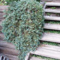 148_625_Juniperus_horiz.Wiltonii_Glauca_vist.JPG